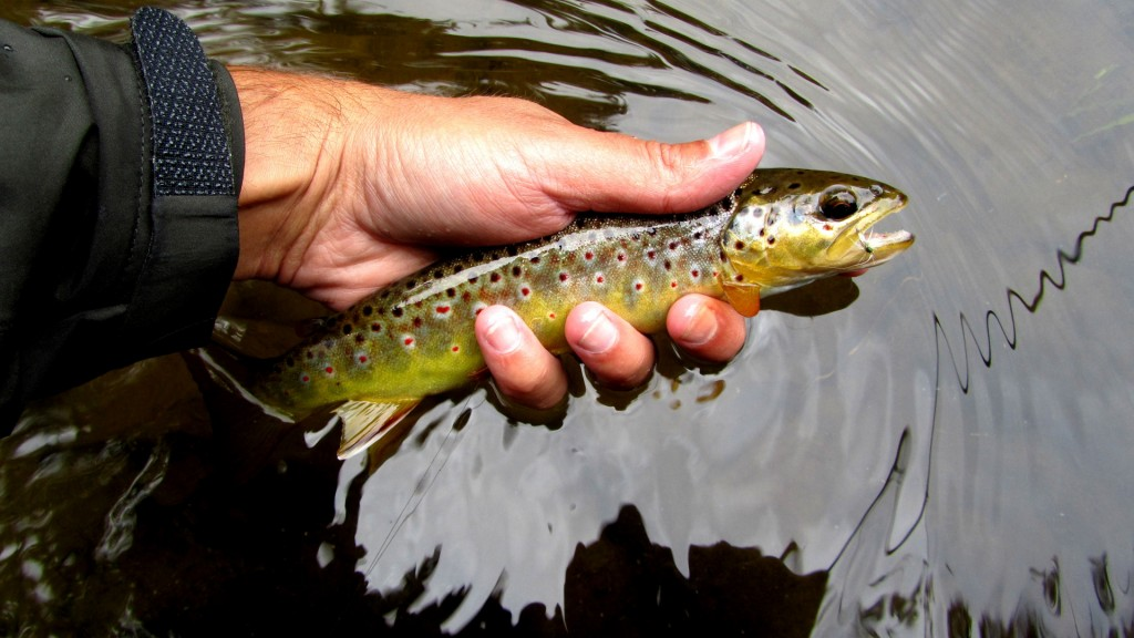 One of many nice looking Au Sable Brown Trout caught during a BWO hatch