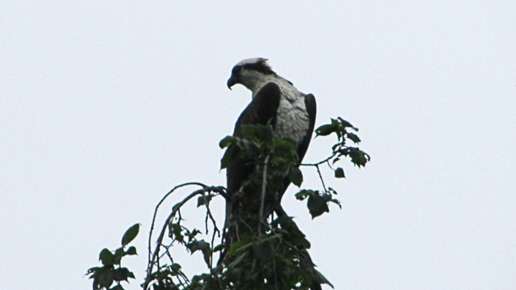 Osprey on the lookout for unsuspecting fish in the river below
