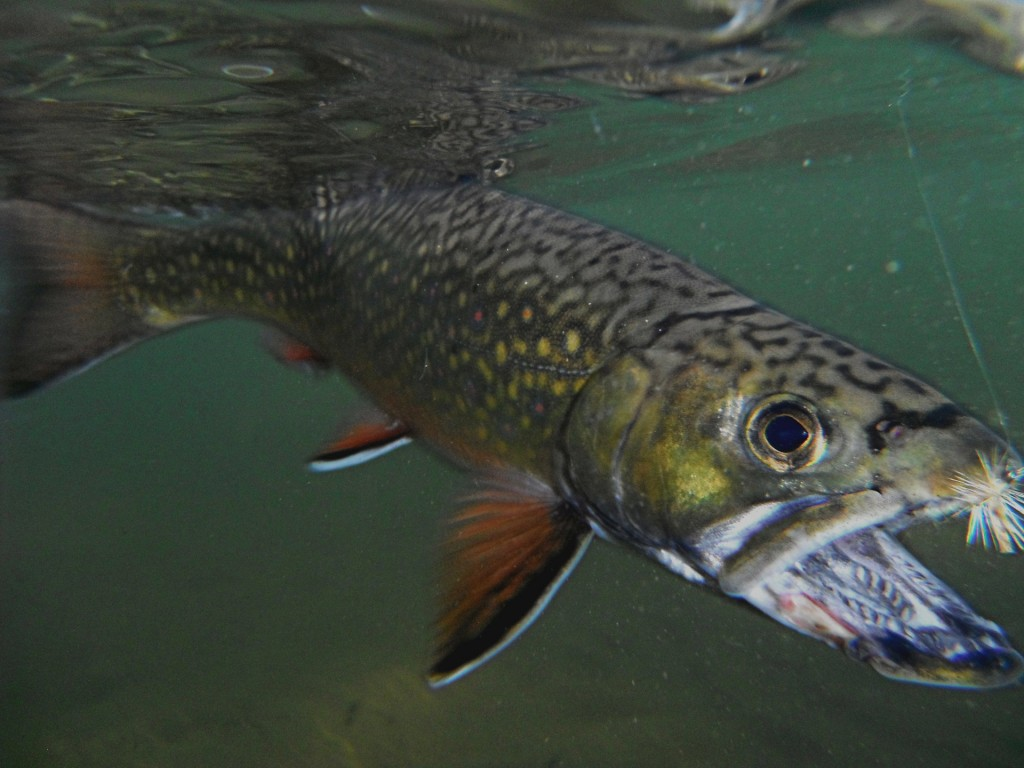 Underwater shot of a Brook Trout my friend Eric caught on the Manistee