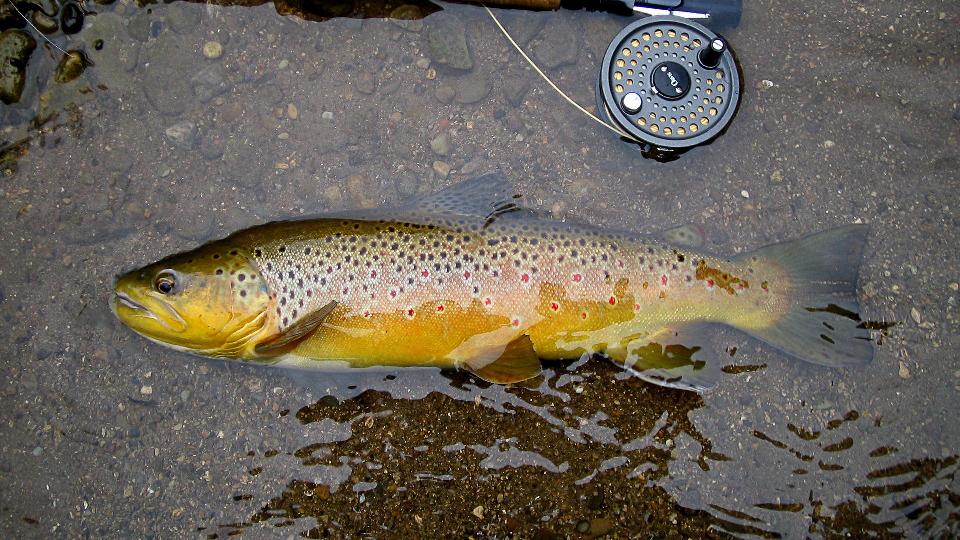trout wallpaper free backgrounds - photo #24