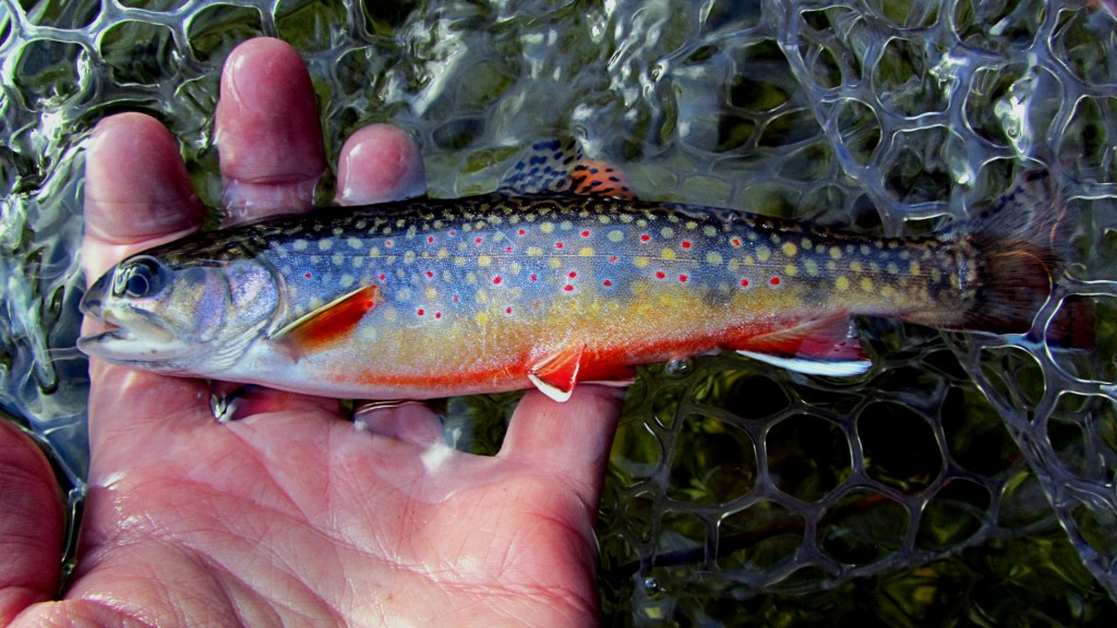 Small but pretty, it's always a pleasure to catch colourful Brook Trout like this