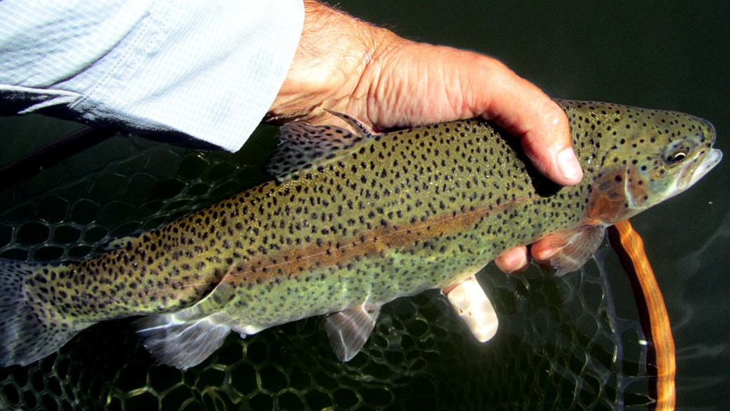 Another nice average sized rainbow caught on a streamer.