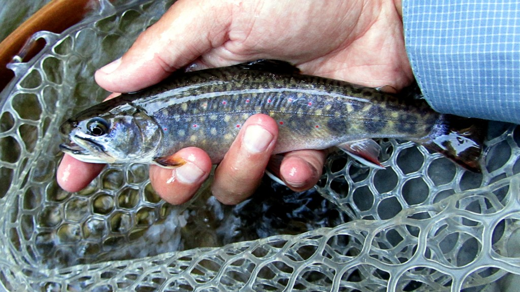 An average sized Brook Trout for this section of river