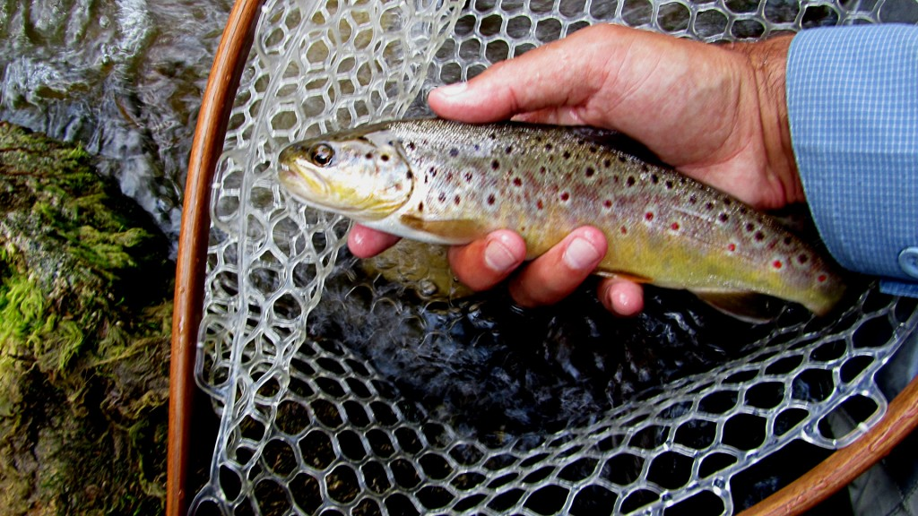 A mid sized brown, the first fish rear its head from the previous hole
