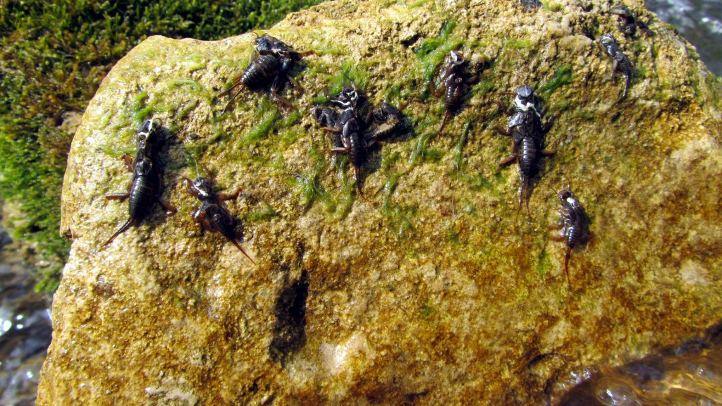 There's no shortage of stoneflies here