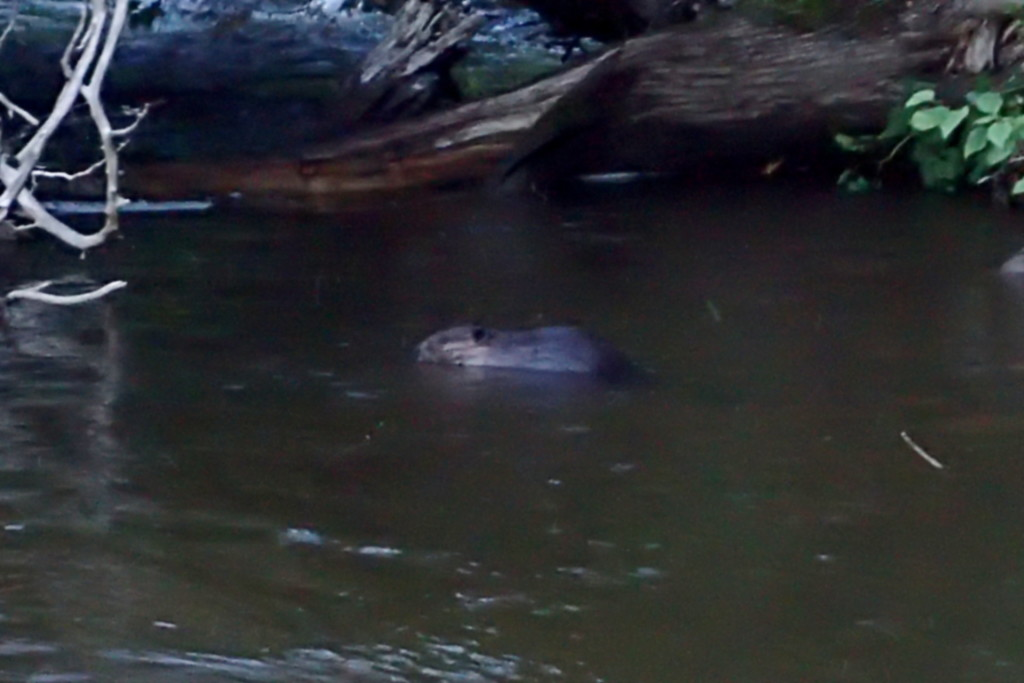 A Beaver, going about its business after we were both startled when it nearly bumped into me.