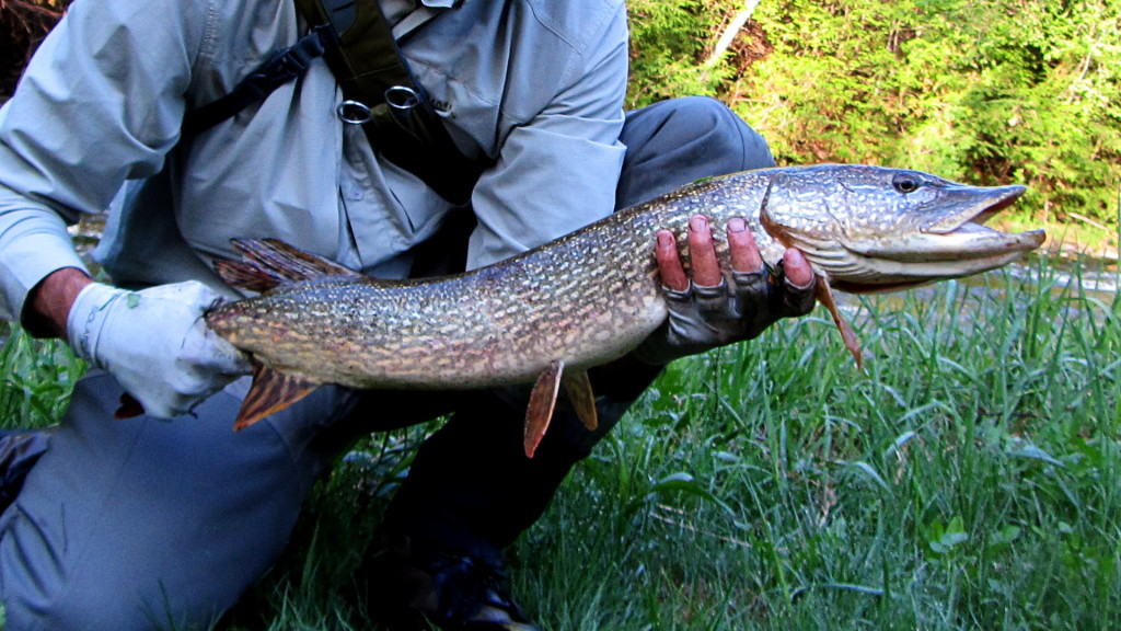 Pike caught (and not released) in the upper Credit trout waters.
