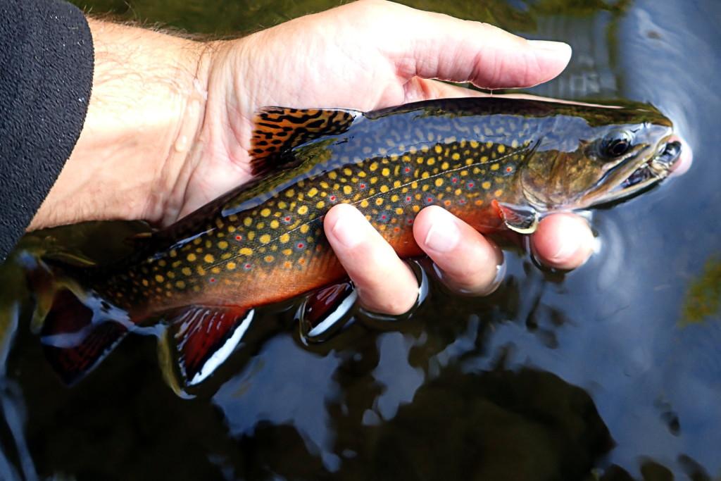 A nice, colorful native Brookie from closing day