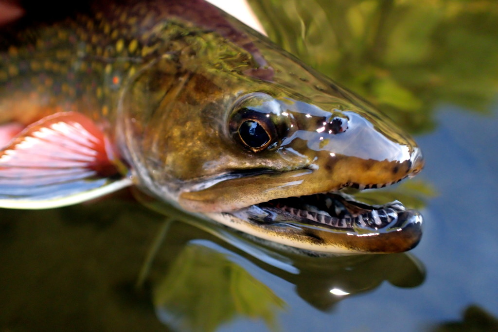 Some bigger Brookies were caught too - those are some mean teeth for a pretty Brook Trout!