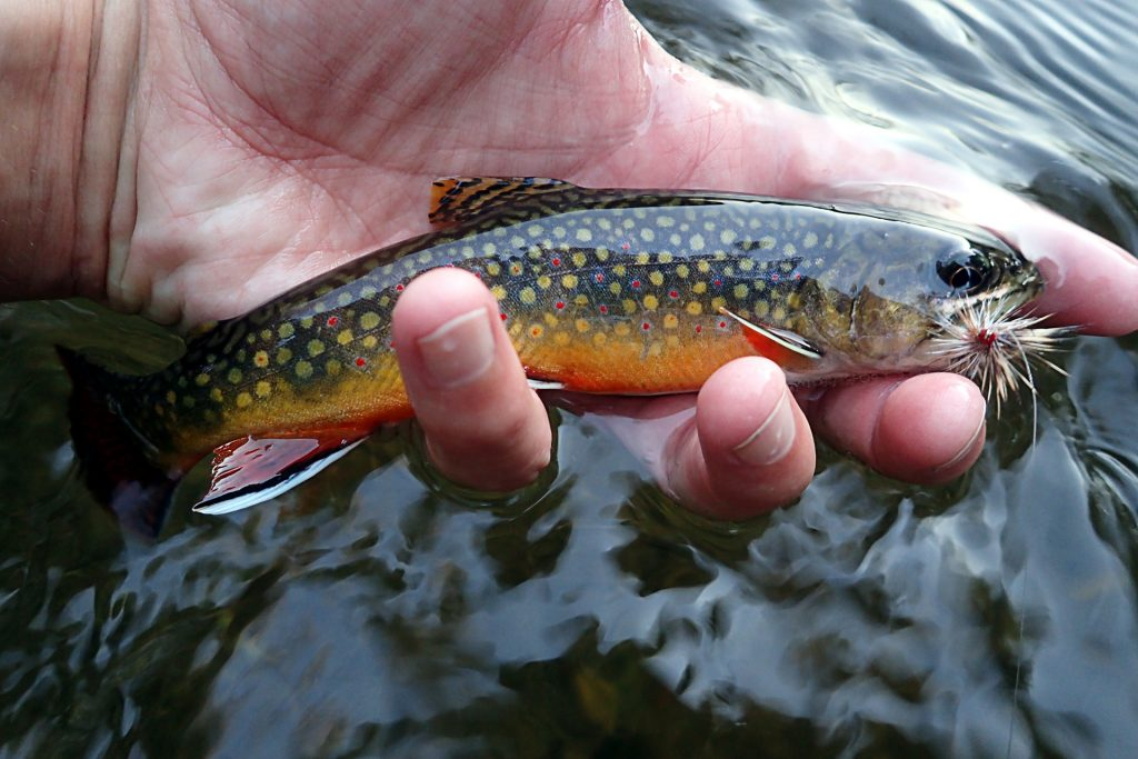 An average, colorful small stream brookie from the weekend.