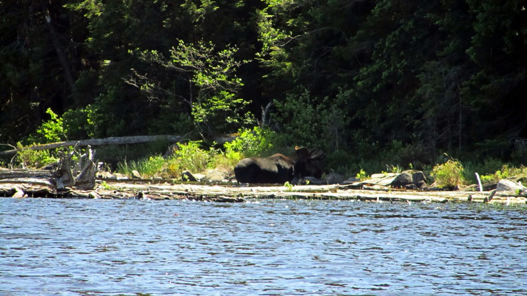 Our first Moose sighting in Algonquin. He was spooked and took off before we could snap and good photos of him.
