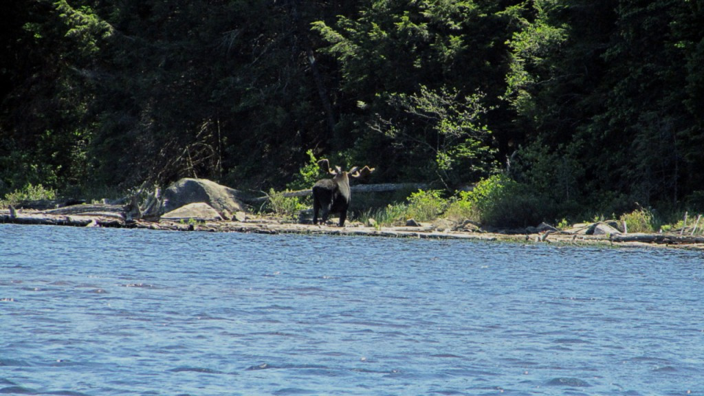 Bull Moose on his way back into the forest