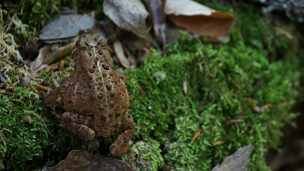 One of many toads found hopping along the trail