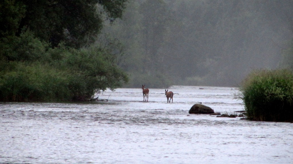 A couple deer greeted us on the river