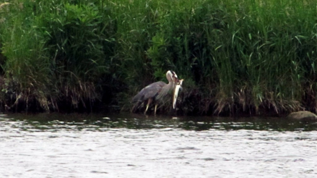 Size does matter, as this great blue heron proved by stealing its breakfast