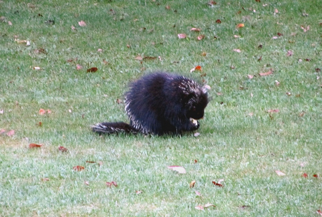 We spotted this porcupine in a yard across the street