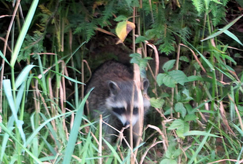 This desperate Raccoon would not leave us be