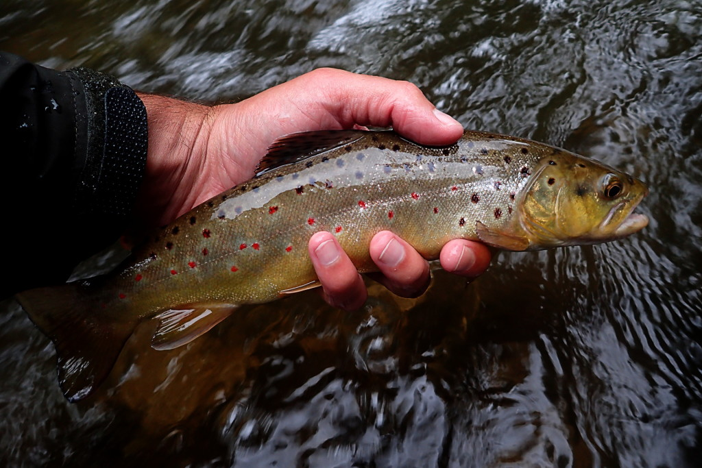 A pretty Brown Trout caught on a March Brown wet fly.