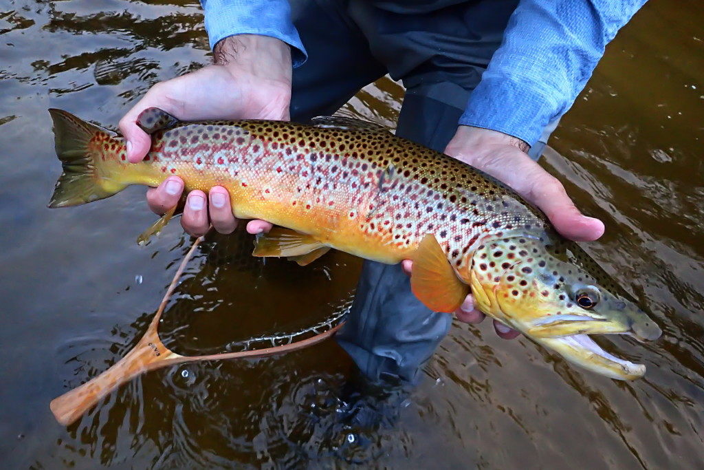 """An unexpected, colourful 22"""" brown trout to finish off the evening."""