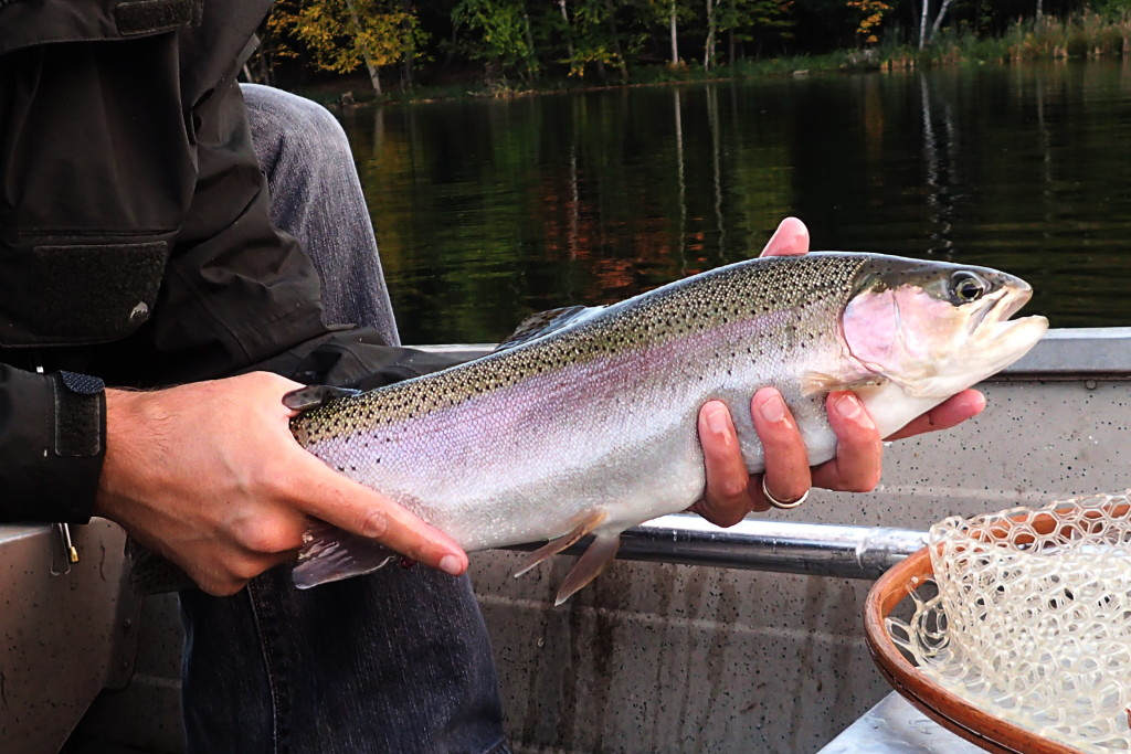 A chunky stillwater stocked rainbow from a couple weeks ago.